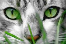 Silver Grey & Black Tabby Cats