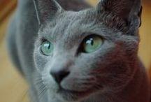 Smoky Grey Cats & Kittens