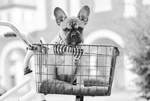 Un poco de amor frances / i'm a cat person, buuut i'm madly in love with frenchies :) / by Nashua