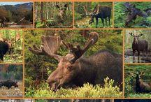 jávorszarvasok / I love moose