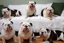 English Bulldog Lover <3 / English Bulldogs / by Debbie Lipscomb