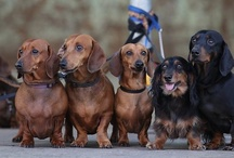 my doxie love / best dogs in the world <3 / by Earlene Bauer