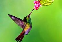 Hummingbird Love / Show love for hummingbirds by offering them energy for flight! Hummingbird nectar energizes hummers, but be sure to clean the feeders and keep nectar fresh!