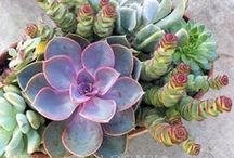 A Passion for Succulents  / Succulents are so varied in type, color, shape, it is easy to get hooked growing and collecting these beauties.   In Northern California, succulents can be used in the landscape to help reduce water use. / by Kim Pearson