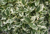 Shrubs with Colored or Variegated Foilage