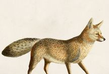 Foxy / My collection of foxy fellows, inspired by nature and vintage illustration