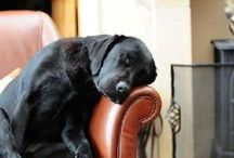 love those labs! (and other sweet pooches)