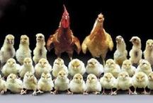 Farms, Farm Animals,  & Farm Life