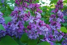 I love lilacs