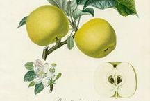 Botanics / Historical, botanical drawings from Pierre Joseph Redoute, William Hooker and others. / by CRYgraphics