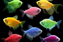 Buy GloFish® Online / Visit shop.glofish.com and have your fluorescent friends shipped overnight right to your door!
