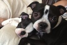 Share Pics Of Your Boston Terrier / Do you have a Boston Terrier in your family? We're bringing together the Boston's of Pinners so join the board and share pics of your BT with the community. To add your pic, follow the board, leave a comment and I'll add you to the contributors list. Then just watch the Pinterest Boston Terrier family grow! Want more? Check out http://bostonterriersrock.com  Note: This board is to collate pics of Bostons we own only