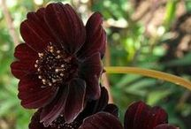 Black Flower Garden☼ / Black and near-black flowers, plants and shrubs for gothic gardens or as accents.