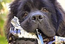 A Newfie, Please! / by Marilyn Zimmers