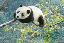 Pandas / by Melinda Gillespie