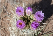 "Desert Blooms / Another item for your notorious ""bucket list."" The desert in bloom. So often when we think of blooming flowers, it is in the context of a cottage garden, or a springtime hillside of color.  But the understated struggle of a desert blooming plant brings awe to the senses and appreciation of the dry climate that gives life to some of the most lovely of flowers. / by Holiday River Expeditions"
