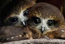 Chouettes Owls