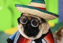 Pugs Are Awesome / They're so photogenic.