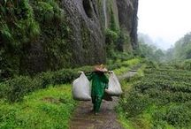 the origin of tea | CHINA / from plant to cup, where does your tea come from? http://www.cupkes.com/all-about-tea/