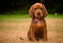 Hvorfor jeg vil ha en coonhound