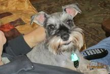 Daisy and All Things Schnauzers (ok animals) / All the cuteness in the world.