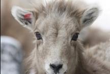 Wildlife from Montana & Yellowstone / Wildlife from Montana, Wyoming & Yellowstone / by Nancy Moore