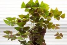Green Thumb / Indoor plants  / by Aurora Borealis