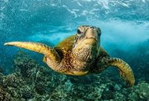 """Sea Turtles / Here in Maui, Hawaii it's not uncommon to spot a sea turtle, also know as """"Honu"""", while snorkel, surfing, scuba diving, or swimming."""