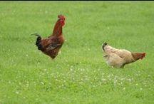 Homestead_animals