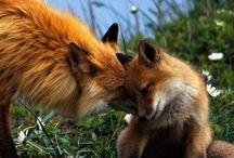 Fox on the Run!