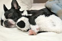 Boston Terriers / by Stacey Stiebe