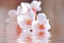 Fleurs: sakura