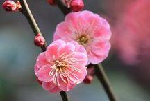 Fleurs: plum blossom