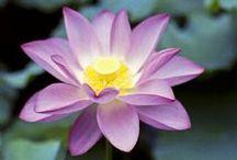 Fleurs: lotus