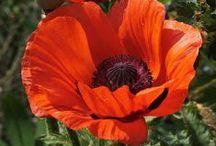 Fleurs: pavots