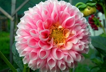 Dahlias ԑ̮̑♦̮̑ɜܓ / My grandmother had a preference for these flowers