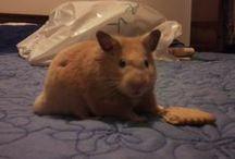 Animales - hamsters / Animals - hamsters / by Kurenai Yuuhi