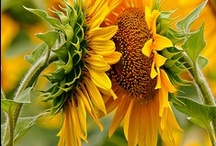 "Sunflowers ❁ / ""Bring me the sunflower I transplant it   in my land..."" (Eugenio Montale)"