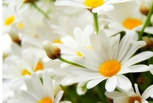 Daisy ⇺❁ / Wonderful simple flower!