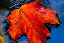 "Autumn: glory of the leaves প / ""Red as blood are the last leaves and yellow like the sun."""