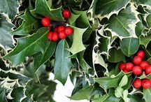 Holly / A magical plant, the plant of Christmas...
