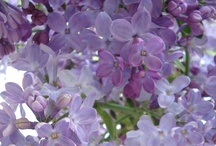 Lilac & Periwinkle / The colors of the flowers of the same name