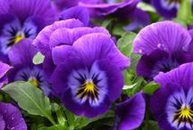 Violets and pansies ✾ / Small and modest, they are the graceful symbol of a new awakening of nature.