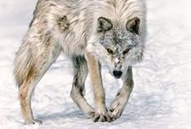 """Lobos / """"A gentleman is simply a patient wolf."""" Lana Turner"""