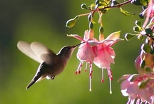 Birds ~ Oh Hummingbird / by Susan Bambino