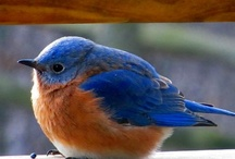 Birds ~ Mr. Bluebird On My Shoulder / by Susan Bambino