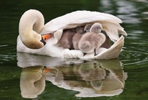 Birds ~ The Ugly Duckling  / by Susan Bambino