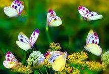 Butterflies / by Susan Bambino
