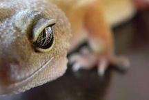 Leopard Gecko / by Callie Wohlwend