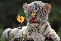 Tigrisek - Tiger